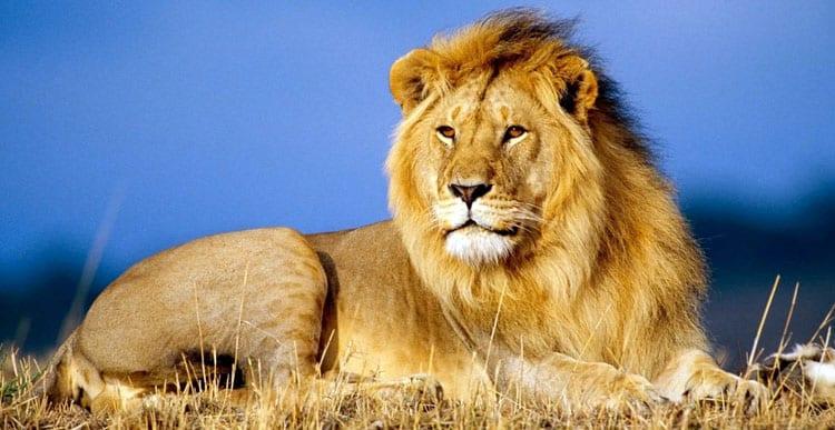 Мужчина лев в браке